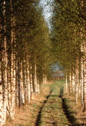 Grove「Dirt road in birch tree grove, Finland」:スマホ壁紙(2)