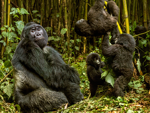 Animals In The Wild「Silverback is sitting and infant mountain gorillas are playing」:スマホ壁紙(19)