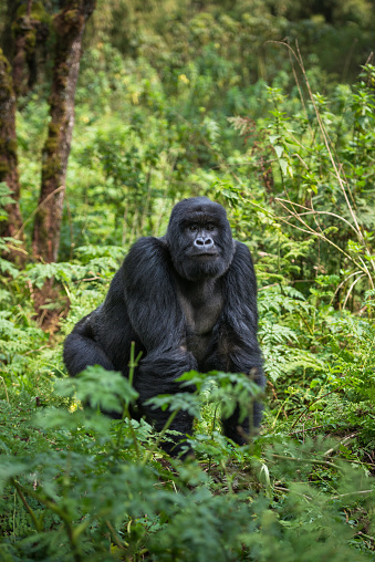Gorilla「A Silverback Mountain Gorilla standing, Volcanoes National Park, Rwanda.」:スマホ壁紙(12)