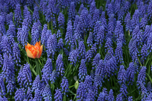 Grape Hyacinth「One Orange Tulip amongst Many Blue Grape Hyacinth」:スマホ壁紙(0)