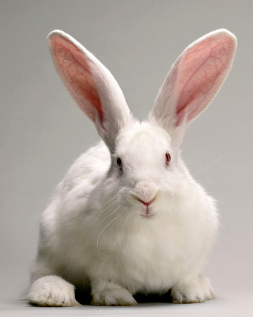 Baby Rabbit「White Bunny」:スマホ壁紙(17)