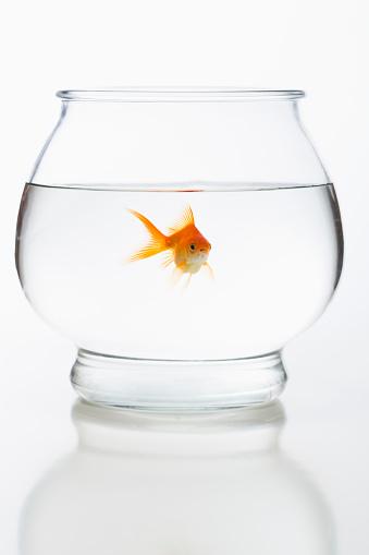 Goldfish「Goldfish in fishbowl」:スマホ壁紙(10)