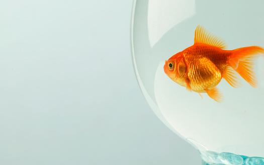 Goldfish「Goldfish (Carassius auratus) in fishbowl」:スマホ壁紙(18)