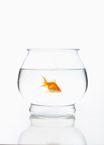 Goldfish「Goldfish in fishbowl」:スマホ壁紙(12)