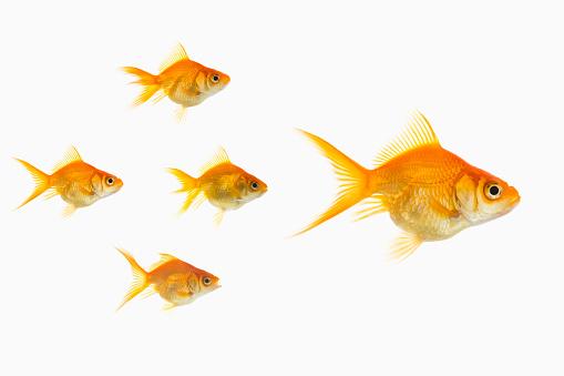 Goldfish「Goldfish in water」:スマホ壁紙(11)