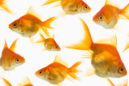 Goldfish「Goldfish in water」:スマホ壁紙(13)