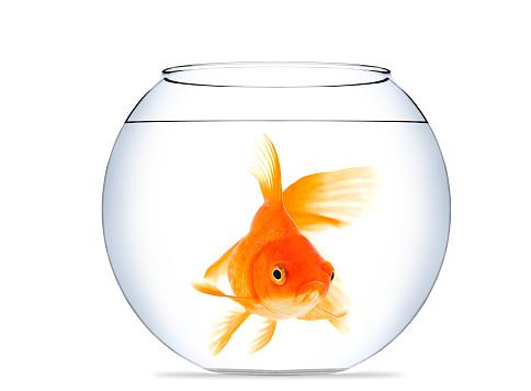 金魚「金魚の水族館」:スマホ壁紙(8)