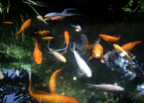 Carp「Goldfish in a pond」:スマホ壁紙(6)