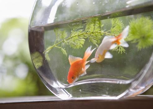金魚「Goldfish in a bowl」:スマホ壁紙(4)