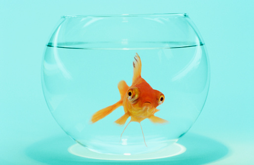 Domestic Animals「Goldfish in Fish Bowl」:スマホ壁紙(6)