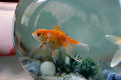 Domestic Animals「Goldfish in Bowl」:スマホ壁紙(2)