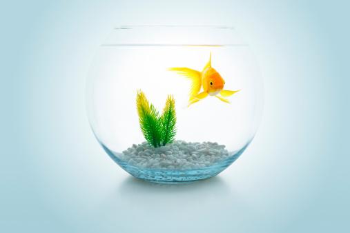 金魚「金魚のボウル」:スマホ壁紙(3)
