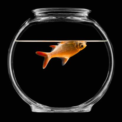 Fishbowl「Goldfish in bowl」:スマホ壁紙(9)