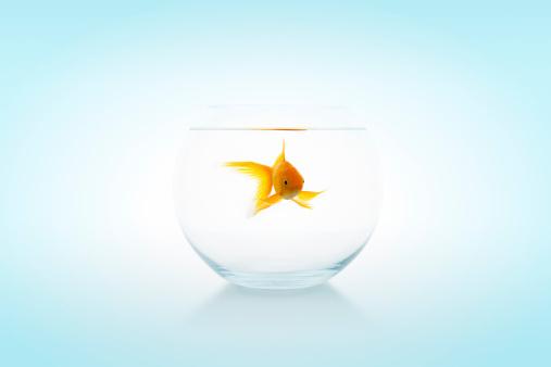 金魚「金魚のボウル」:スマホ壁紙(18)