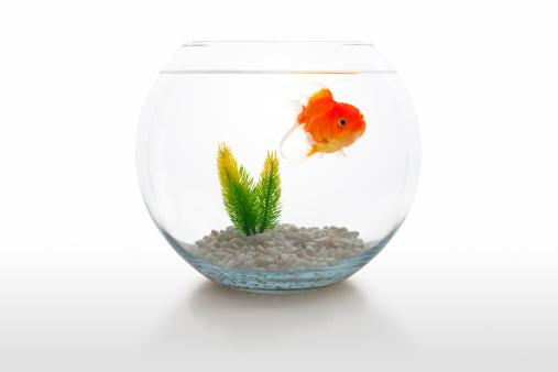 金魚「金魚のボウル」:スマホ壁紙(7)