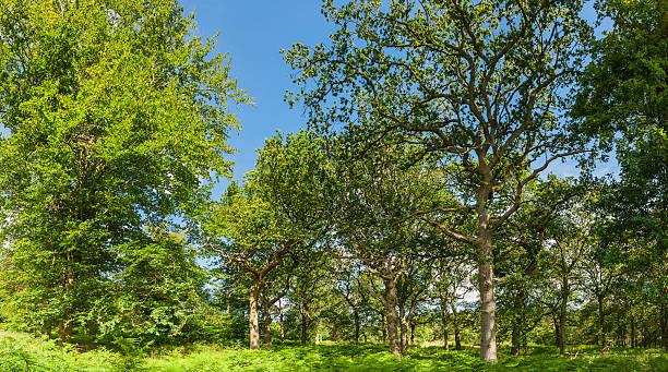Oak trees in idyllic summer woodland panorama:スマホ壁紙(壁紙.com)