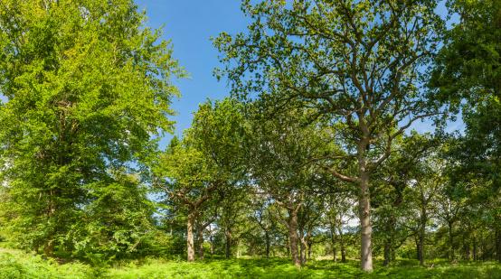 Grove「Oak trees in idyllic summer woodland panorama」:スマホ壁紙(7)
