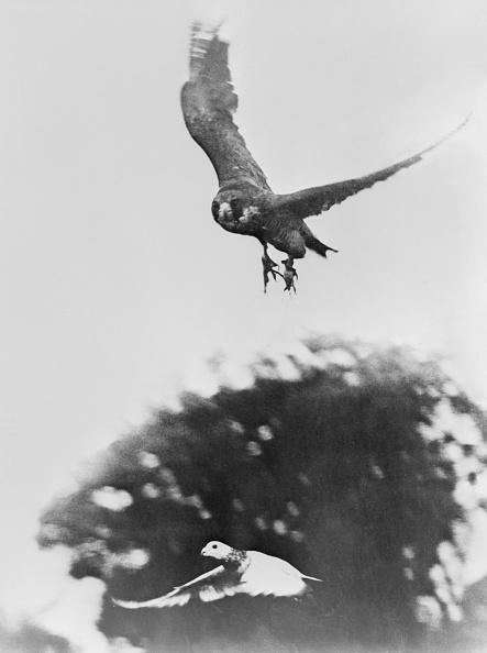 Hawk - Bird「Ursula The Falcon」:写真・画像(9)[壁紙.com]