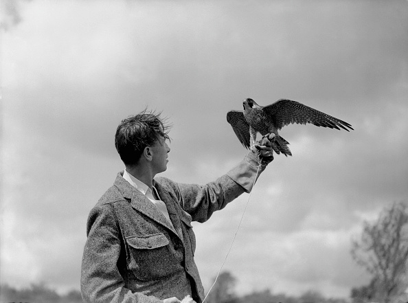 Hawk - Bird「Falcon Guard Against Enemy Pigeons」:写真・画像(8)[壁紙.com]