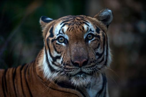 Animal Whisker「Malayan Tiger」:スマホ壁紙(11)