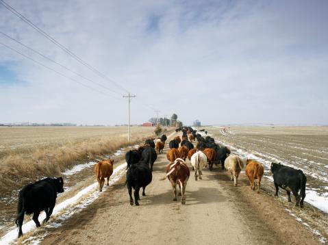 Cow「USA, Nebraska, Great Plains, herd of cattle on country road」:スマホ壁紙(16)