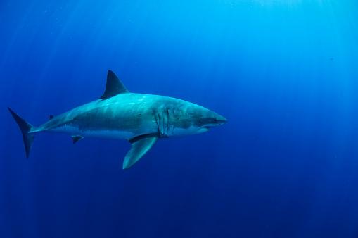 Furious「Female Great White Shark, Guadalupe Island, Mexico.」:スマホ壁紙(14)