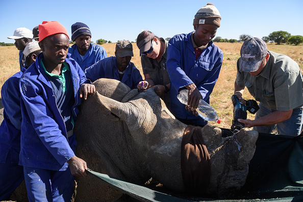 Environmental Conservation「Horn Trimming On The Ranch Of South African Rhino Breeder John Hume」:写真・画像(10)[壁紙.com]