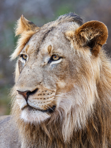 象「Male lion, panthera leo」:スマホ壁紙(3)