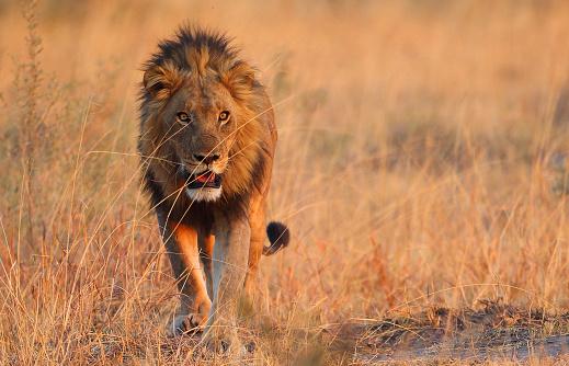ボツワナ「雄ライオン」:スマホ壁紙(4)