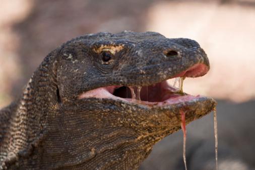 Endangered Species「Komodo Island, Komodo Dragon, close-up」:スマホ壁紙(17)