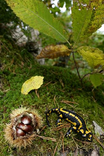 Chestnut「European fire salamander (Salamandra salamandra). Salamander in a walnut grove in the western mountains of Madrid」:スマホ壁紙(14)