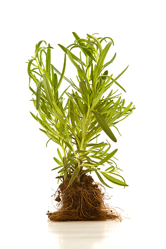 Tarragon「Tarragon plant with whole root ball on a white background」:スマホ壁紙(5)