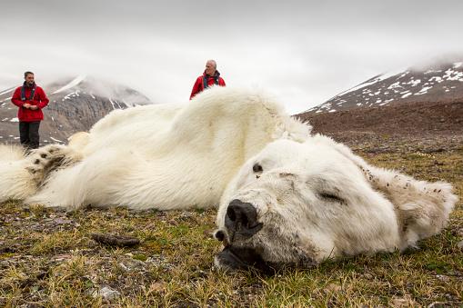 雪「A male Polar Bear (Ursus maritimus) probably starved to death as a consequence of climate change.」:スマホ壁紙(3)