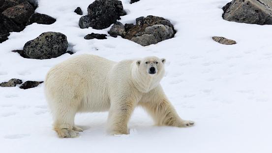Claw「Male polar bear (Ursus maritimus), Raudfjorden, Spitsbergen, Svalbard and Jan Mayen, Norway」:スマホ壁紙(17)