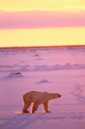 Focus On Background「Male polar bear shot in morning light.  Ursus maritimus.  Cape Churchill, Canada.」:スマホ壁紙(0)