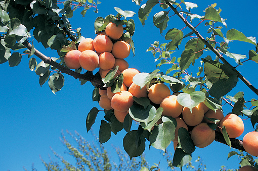 Apricot Tree「Apricots on the Branch of a Tree, Tracy, California」:スマホ壁紙(13)