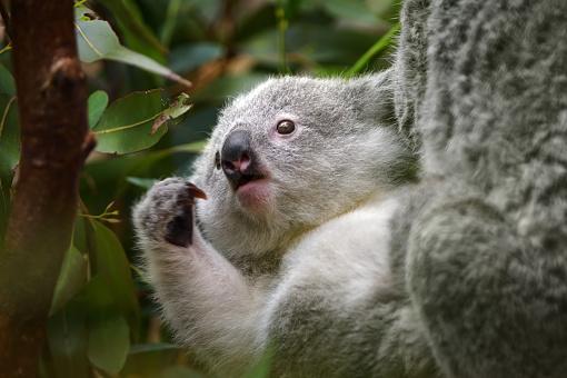 Koala「young koala」:スマホ壁紙(9)