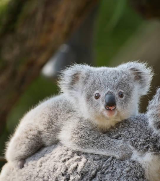young koala:スマホ壁紙(壁紙.com)