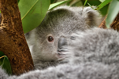Koala「young koala」:スマホ壁紙(5)