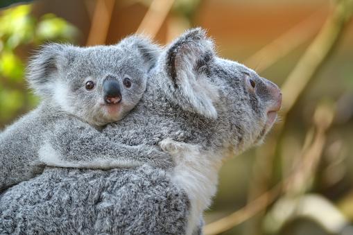 Koala「young koala」:スマホ壁紙(4)