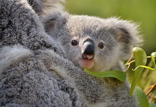 Koala「young koala」:スマホ壁紙(8)