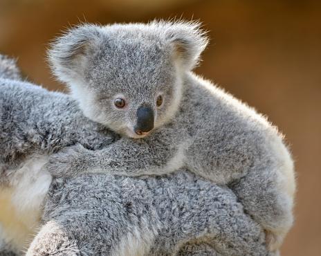 コアラ「若いコアラ」:スマホ壁紙(14)