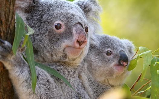 コアラ「若いコアラ」:スマホ壁紙(10)