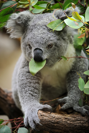 コアラ「若いコアラ」:スマホ壁紙(17)