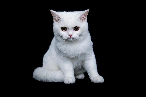 ショートヘア種の猫「British shorthair cat on black background」:スマホ壁紙(11)