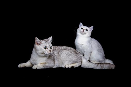 ショートヘア種の猫「British shorthair cat on black background」:スマホ壁紙(8)