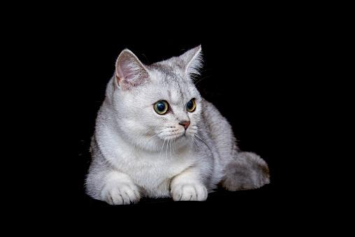 ショートヘア種の猫「British shorthair cat on black background」:スマホ壁紙(9)