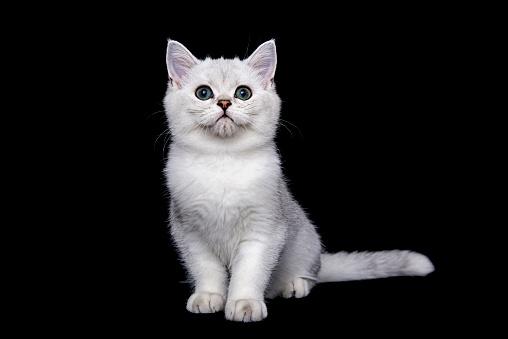 ショートヘア種の猫「British shorthair cat on black background」:スマホ壁紙(2)