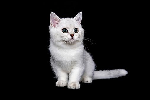 ショートヘア種の猫「British shorthair cat on black background」:スマホ壁紙(4)