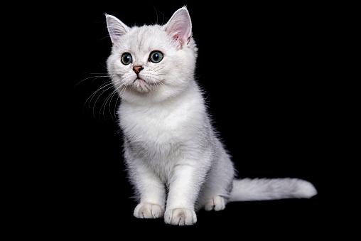 ショートヘア種の猫「British shorthair cat on black background」:スマホ壁紙(7)